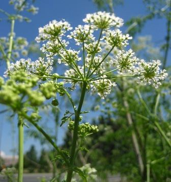 poison-hemlock-flowers-FML-small